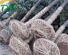 优质大功率起树机 大树专用挖树机