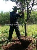 硬土质汽油动力挖树机 多用途链锯式刨树机
