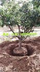 手提式移植挖树机 方便灵活的园林移栽机