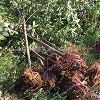 园林移栽起苗机 铲式汽油起树机