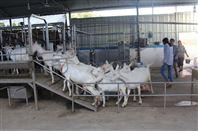 奶羊挤奶厅 奶山羊用挤奶设备