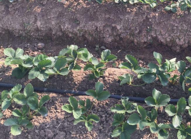 柏乡县设施农业大棚草莓滴灌设备